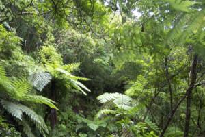 奄美の熱帯雨林の写真(wikipediaより)