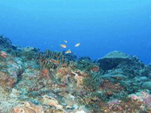 黒島の珊瑚